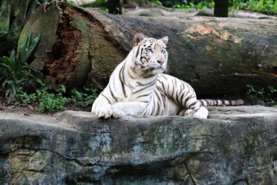 Fototapeta Bílý tygr 4