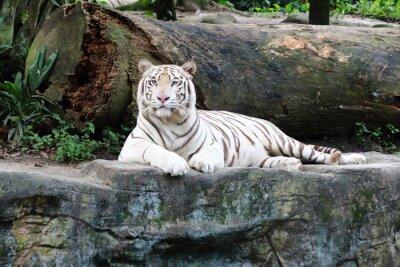 Fototapeta Bílý tygr 5