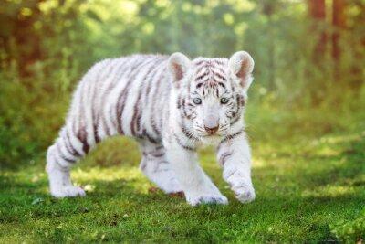 Fototapeta Bílý tygr mládě chůzi venku