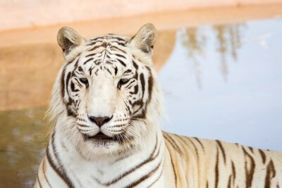Fototapeta Bílý tygr v zoo