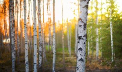 Fototapeta Birch strom při západu slunce