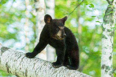 Fototapeta Black Bear Cub (Ursus americanus) Zapíná Branch