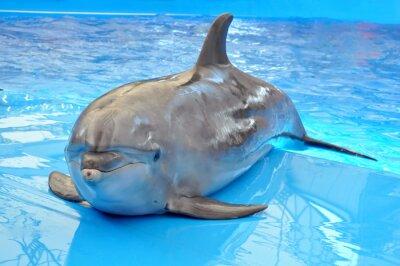 Fototapeta bottlenose dolphin in blue water