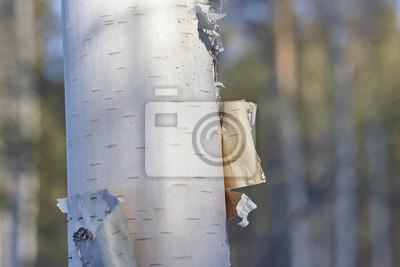 Fototapeta březová kůra zblízka