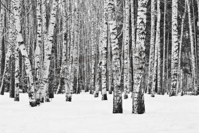 Fototapeta Březového lesa v zimě v černé a bílé