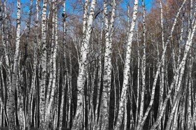 Fototapeta březový háj, černá a bílá spád