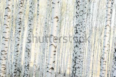 Fototapeta březový les na slunci v dopoledních hodinách