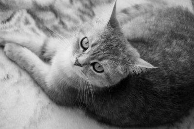 Fototapeta Britská kočka - černá a bílá