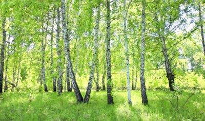 Fototapeta bříza les