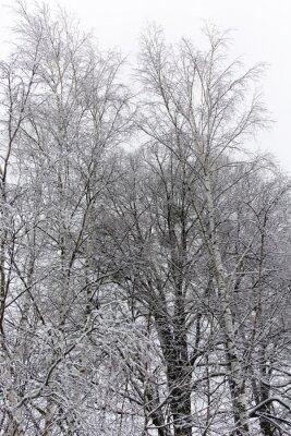 Fototapeta bříza strom pokrytý sněhem