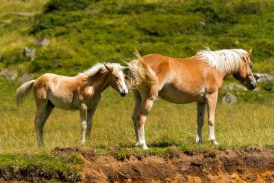 Fototapeta Brown and White Klisna s hříbětem / Brown a bílý kůň s hříbětem v horách. Národní park Adamello Brenta, Trentino Alto Adige, Itálie