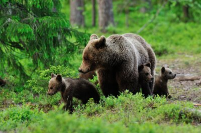 Fototapeta Brown bear with cubs in the forest