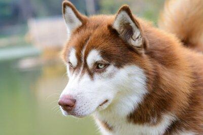 Fototapeta Brown sibiřský husky pes stojící