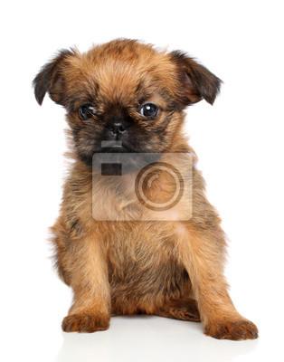 Bruselský grifonek štěně fototapeta • fototapety Brusel 8fb24872c4