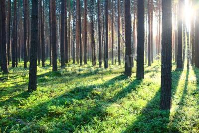 Fototapeta Brzy ráno s východem slunce v borovicovém lese
