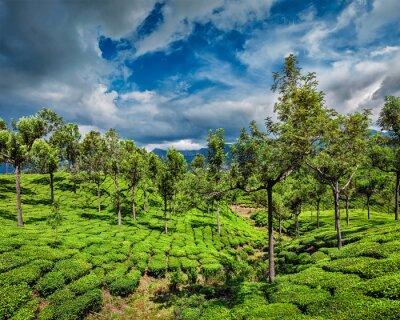 Fototapeta Čajové plantáže v horách