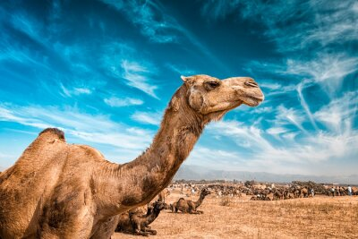 Fototapeta Camel v Indii