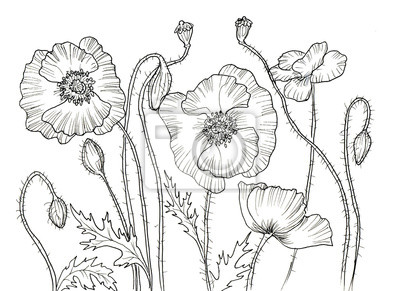 Cara Kresba Tusi Kvetiny Fototapeta Fototapety Monochrom Botanic