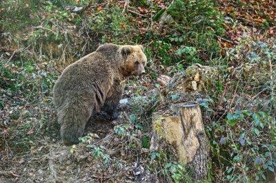 Fototapeta Carpathian medvěd hnědý