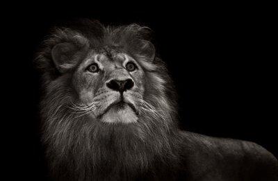 Fototapeta černá a bílá lev