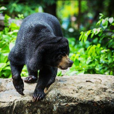 Fototapeta černí medvědi