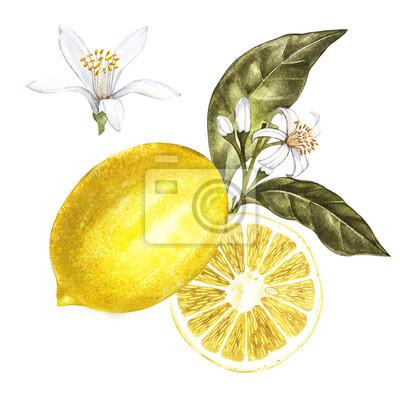 Cerstvy Akvarel Citron S Kvetinami Rucne Kreslene Botanicke