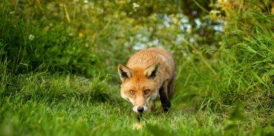 Fototapeta červená liška