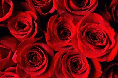Fototapeta červená růže pozadí