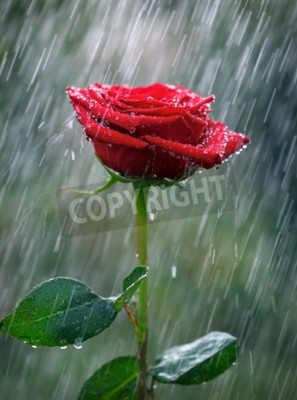 Fototapeta Červená růže s vodními kvapkami do deště