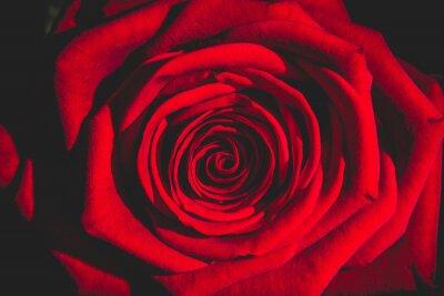 Fototapeta červená růže ze tmy