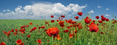 Fototapeta červené vlčí máky a obloha s mraky