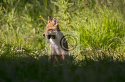 Fototapeta Červený Fox, Vulpes vulpes, juvenilní sedí v trávě vrčení