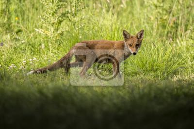 Fototapeta Červený Fox, Vulpes vulpes, mládě stojící v trávě při pohledu na fotoaparát