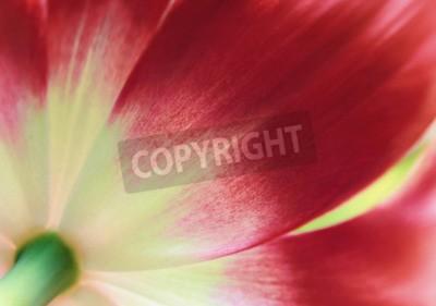 Fototapeta Červený tulipán zblízka, abstraktní jarní pozadí