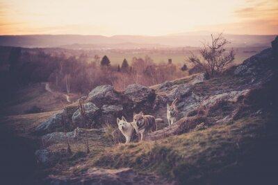 Fototapeta Československý Woflshundrudel volně běží v horách