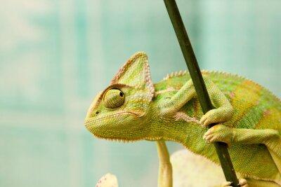 Fototapeta chameleón