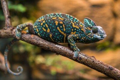 Fototapeta Chameleon jemenský ještěrka