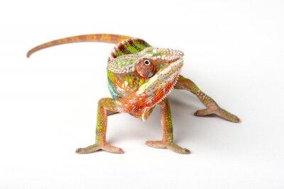 Fototapeta Chameleon na bílém pozadí