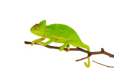 Fototapeta Chameleon na větvi