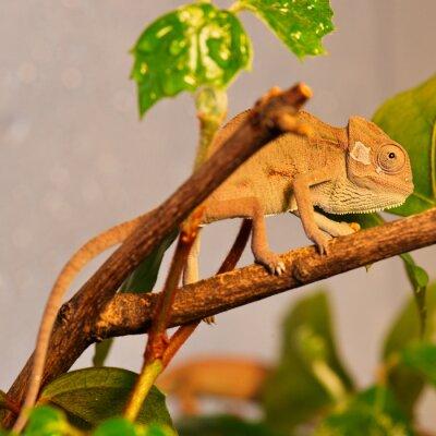 Fototapeta chameleoni