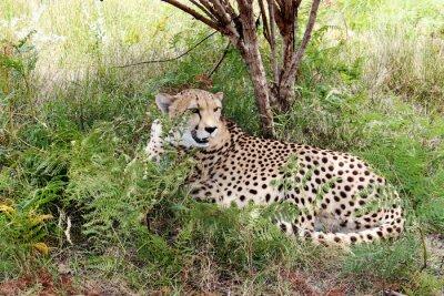 Fototapeta Cheetah 03