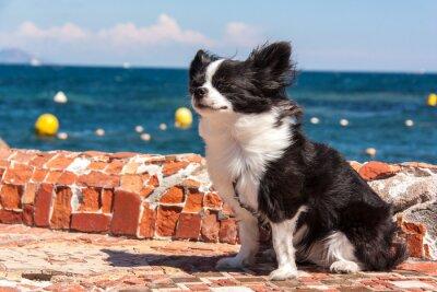 Fototapeta Chihuahua