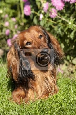 Čistokrevní psi jezevčík fototapeta • fototapety kříženec ... 1464a8a16c