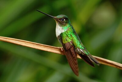 Fototapeta Collared Inca, Coeligena torquata, kolibřík Mindo z lesa, pták z Ekvádoru