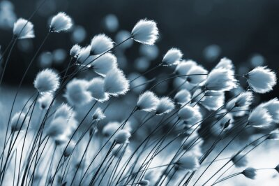 Fototapeta Cotton grass on the lake on a summer evening