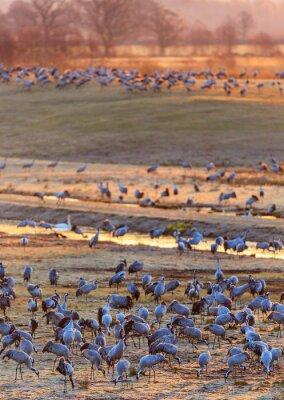 Fototapeta Dawn světlo na pole s jeřáby