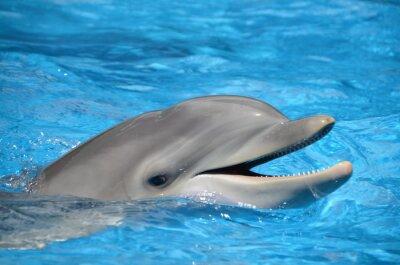Fototapeta Delfín skákavý s otevřenými ústy