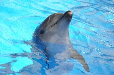 Fototapeta Delfín skákavý v modré vodě