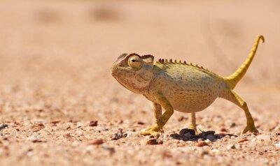 Fototapeta Desert Chamaeleon v Namib, Namibie