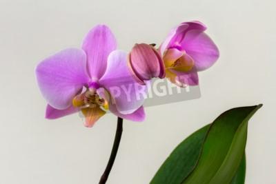 Fototapeta Detailní záběr na pastelovou orchidejovou květinu. Zen v umění květin. Makrofotografie přírody.